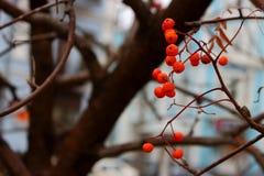 Τα φωτεινά κόκκινα μούρα σορβιών ενάντια οι γυμνοί κλάδοι δέντρων και το μπλε υπόβαθρο Στοκ Εικόνες