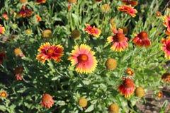 Τα φωτεινά πορτοκαλιά λουλούδια έχουν τα οδοντωτά πέταλα Στοκ εικόνα με δικαίωμα ελεύθερης χρήσης