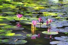 Τα φωτεινά ρόδινα λουλούδια Lotus άνθισαν στη σαφή λίμνη στο θερμό s Στοκ Εικόνες