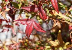 Τα φωτεινά χρωματισμένα κόκκινα φύλλα σε έναν θάμνο Στοκ φωτογραφίες με δικαίωμα ελεύθερης χρήσης