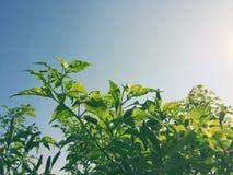 Τα φύλλα απεικονίζουν το φως του ήλιου Στοκ Εικόνες