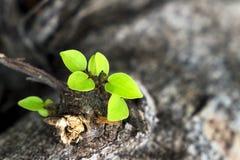 Τα φύλλα αυξάνονται από ένα ξηρό δέντρο και συμβολισμός της προσπάθειας στοκ εικόνες