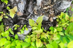 Τα φύλλα αυξάνονται από ένα ξηρό δέντρο και συμβολισμός της προσπάθειας στοκ εικόνα με δικαίωμα ελεύθερης χρήσης