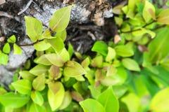 Τα φύλλα αυξάνονται από ένα ξηρό δέντρο και συμβολισμός της προσπάθειας, στοκ φωτογραφία με δικαίωμα ελεύθερης χρήσης