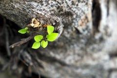 Τα φύλλα αυξάνονται από ένα ξηρό δέντρο και συμβολισμός της προσπάθειας στοκ φωτογραφία με δικαίωμα ελεύθερης χρήσης