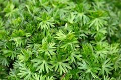 Τα φύλλα γερανιών καλλιεργούν την άνοιξη, έννοια υποβάθρου στοκ εικόνα με δικαίωμα ελεύθερης χρήσης