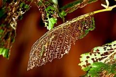 Τα φύλλα είναιφαγωμένες ?αγωμένες μακριά κάμπιες Στοκ Εικόνα
