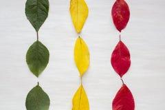 Τα φύλλα είναι πράσινα, κίτρινα και κόκκινα Αφαίρεση, η έννοια του φθινοπώρου στοκ εικόνα