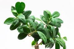 Τα φύλλα ενός μικρού δέντρου μπονσάι κλείνουν επάνω απομονωμένος σε ένα άσπρο υπόβαθρο με μια πορεία ψαλιδίσματος στοκ φωτογραφίες