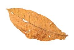 Τα φύλλα καπνών ξεραίνουν Στοκ Εικόνα