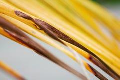 Τα φύλλα καρύδων ξεραίνουν με το υπόβαθρο Στοκ Φωτογραφίες