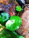 Τα φύλλα κόλα Gotu αυξάνονται στη συνέπεια των βράχων στοκ εικόνες