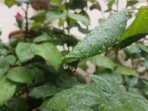 Τα φύλλα πηγαίνουν πράσινη πτώση αφήνουν pf το νερό Στοκ εικόνες με δικαίωμα ελεύθερης χρήσης