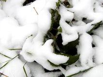 Τα φύλλα πράσινο nettle στο χιόνι κλείνουν επάνω Στοκ Εικόνες