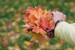 Τα φύλλα σφενδάμου παραδίδουν μέσα το πάρκο πτώσης Στοκ εικόνες με δικαίωμα ελεύθερης χρήσης