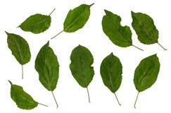 Τα φύλλα της Apple, domestica Apple, σύνολο Malus φύλλων Στοκ Φωτογραφίες
