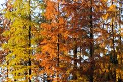 Τα φύλλα του κυπαρισσιού το φθινόπωρο στοκ εικόνες με δικαίωμα ελεύθερης χρήσης