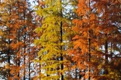 Τα φύλλα του κυπαρισσιού το φθινόπωρο στοκ εικόνα