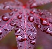 Τα φύλλα του κόκκινου ιαπωνικού σφενδάμνου σφενδάμνου fullmoon με το νερό ρίχνουν το α Στοκ Εικόνα