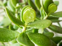 Τα φύλλα του crassula crassula με το νερό μειώνονται, εκλεκτική εστίαση στοκ εικόνα