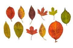 Τα φύλλα φθινοπώρου κήπων απομόνωσαν: Aronia chokeberry, κυδώνι, krondal ένα υβρίδιο της χρυσής σταφίδας και ριβήσιο στοκ φωτογραφία