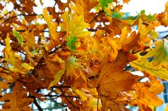 Τα φύλλα φθινοπώρου, κόκκινο φύλλο σφενδάμου, κόκκινο φύλλο φθινοπώρου βρίσκονται σε μια συγκεκριμένη βάση Στοκ Εικόνες