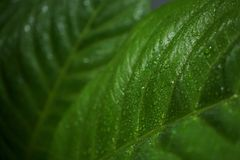 Τα φύλλα Anthurium Jenmanii το πρωί Στοκ φωτογραφίες με δικαίωμα ελεύθερης χρήσης