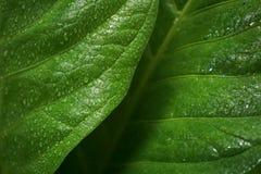 Τα φύλλα Anthurium Jenmanii το πρωί Στοκ Φωτογραφία