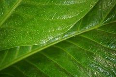 Τα φύλλα Anthurium Jenmanii το πρωί Στοκ Εικόνα
