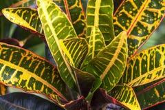 Τα φύλλα Croton κήπων είναι υπέροχα χρώμα εναλλακτικά στοκ εικόνες