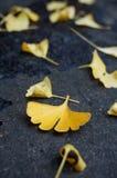 Τα φύλλα ginkgo στο έδαφος Στοκ φωτογραφία με δικαίωμα ελεύθερης χρήσης
