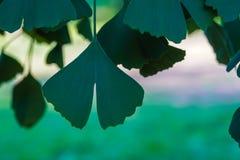Τα φύλλα Ginko Biloba στο υπόβαθρο του ηλιακού λιβαδιού στοκ εικόνες
