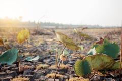 Τα φύλλα Lotus ξεραίνουν με το φως του ήλιου Στοκ εικόνα με δικαίωμα ελεύθερης χρήσης