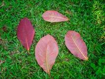 Τα φύλλα Malabar ξεραίνουν στο υπόβαθρο χλόης Στοκ Φωτογραφία