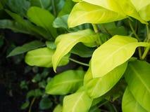 Τα φύλλα Philodendron Στοκ Εικόνα