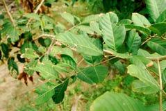 Τα φύλλα Rambutan είναι borer στοκ εικόνες