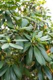 Τα φύλλα rhododendron του βουνού ericaceae williamsianum αυξήθηκαν από τη szechuan Κίνα Στοκ Εικόνες