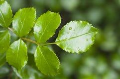 τα φύλλα αυξήθηκαν Στοκ εικόνα με δικαίωμα ελεύθερης χρήσης