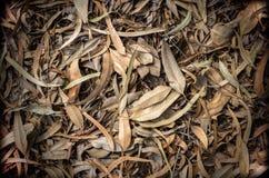 Τα φύλλα ευκαλύπτων ξεραίνουν επάνω για το υπόβαθρο Στοκ Εικόνες
