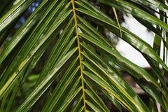 Τα φύλλα καρύδων στοκ φωτογραφία