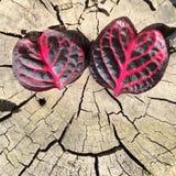 Τα φύλλα καρδιών μοιάζουν με τα μάτια Στοκ φωτογραφία με δικαίωμα ελεύθερης χρήσης