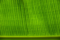 Τα φύλλα μπανανών Στοκ Εικόνα