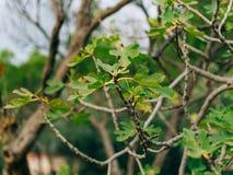 Τα φύλλα στο δέντρο σύκων Στοκ Εικόνες