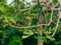 Τα φύλλα στο δέντρο σύκων Στοκ Εικόνα