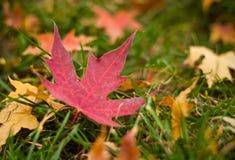 Τα φύλλα σφενδάμου του φθινοπώρου Στοκ Εικόνα