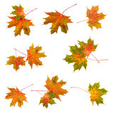 Τα φύλλα σφενδάμου φύλλων πτώσης καθορισμένα τη συλλογή ζωηρόχρωμο απομονωμένο λευκό φύλλων ανασκόπησης φθινοπώρου Στοκ φωτογραφία με δικαίωμα ελεύθερης χρήσης