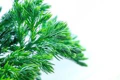 Τα φύλλα του δέντρου πεύκων κλείνουν επάνω Στοκ Εικόνες