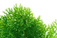 Τα φύλλα του δέντρου πεύκων κλείνουν επάνω Στοκ Φωτογραφίες