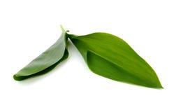 Τα φύλλα του κρίνου της κοιλάδας στοκ εικόνες