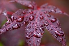 Τα φύλλα του κόκκινου ιαπωνικού σφενδάμνου σφενδάμνου fullmoon με το νερό ρίχνουν το α Στοκ φωτογραφία με δικαίωμα ελεύθερης χρήσης